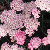Achillea 'Tutti Frutti Wonderful Wampee'